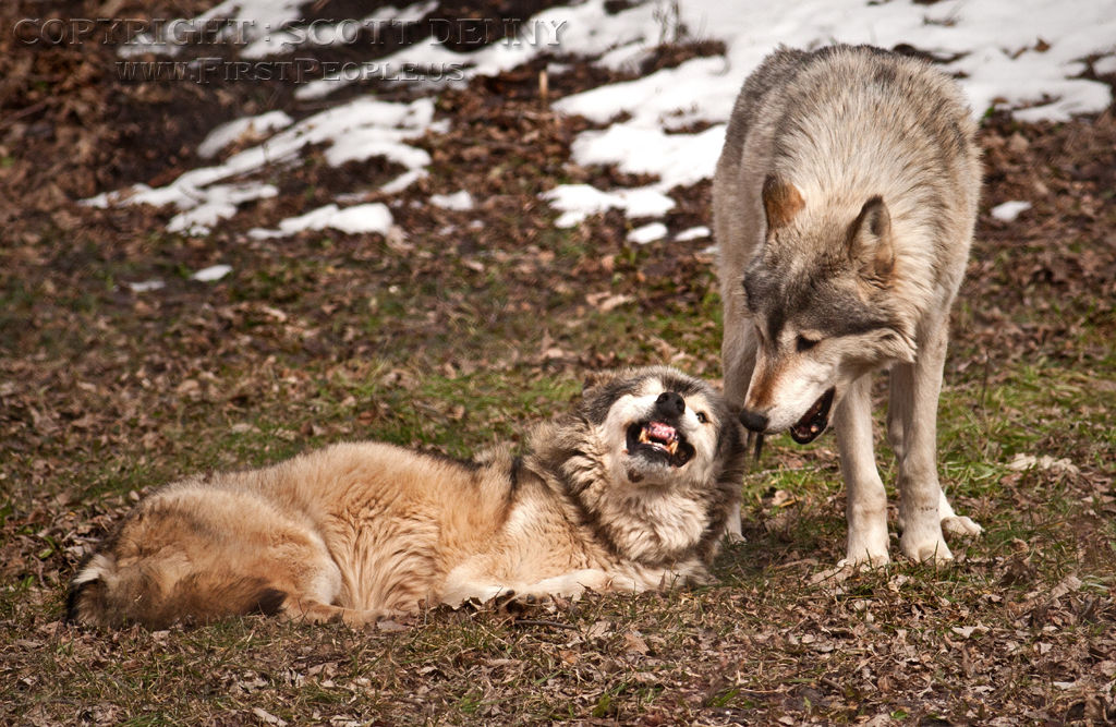Two Mexican Gray Wolves (Canis lupus baileyi). One being submissive to the other.