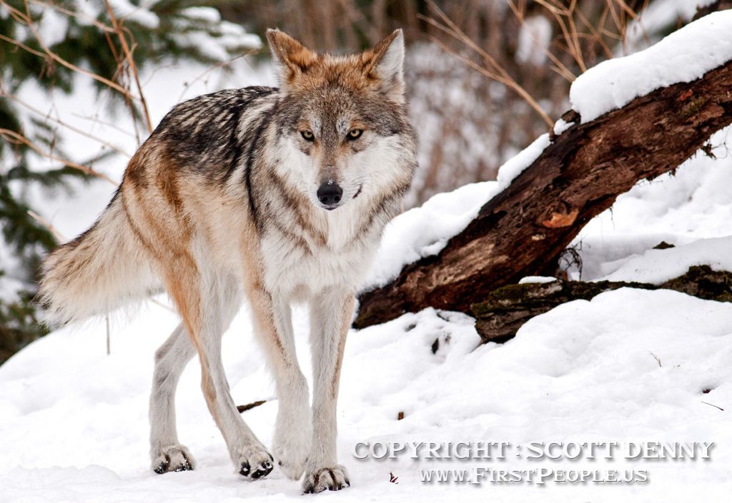 A Mexican Gray Wolf (Canis lupus baileyi) taking a walk through the snow.