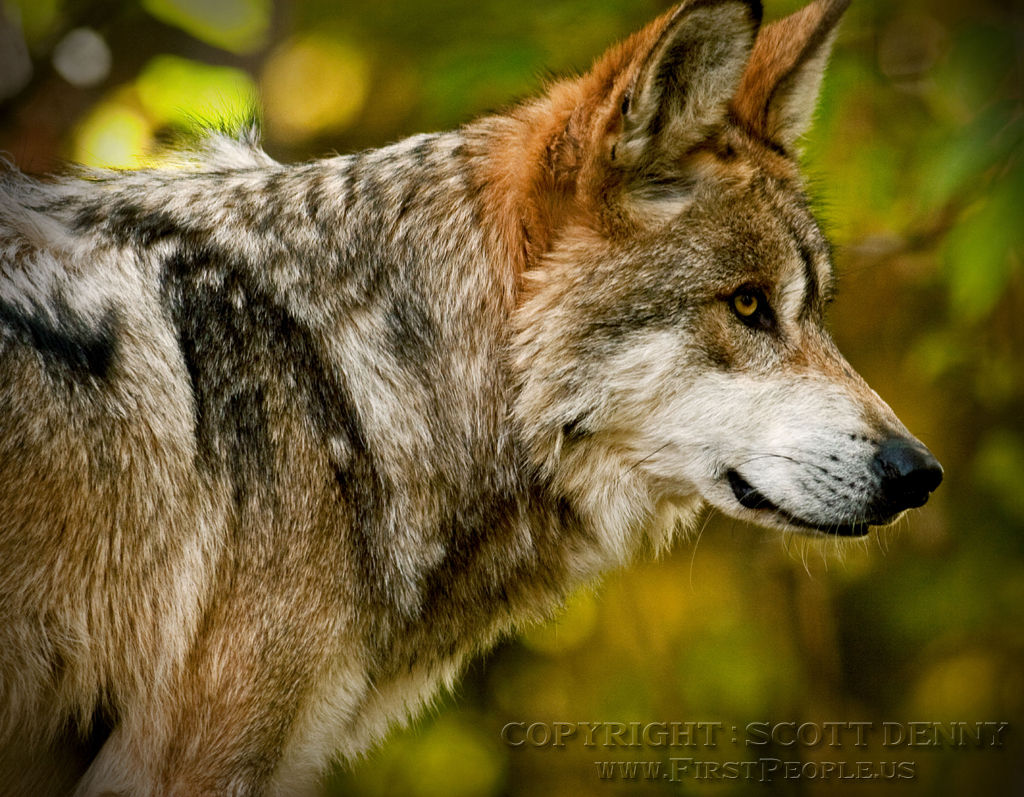 A side profile of a Mexican Gray Wolf (Canis lupus baileyi).