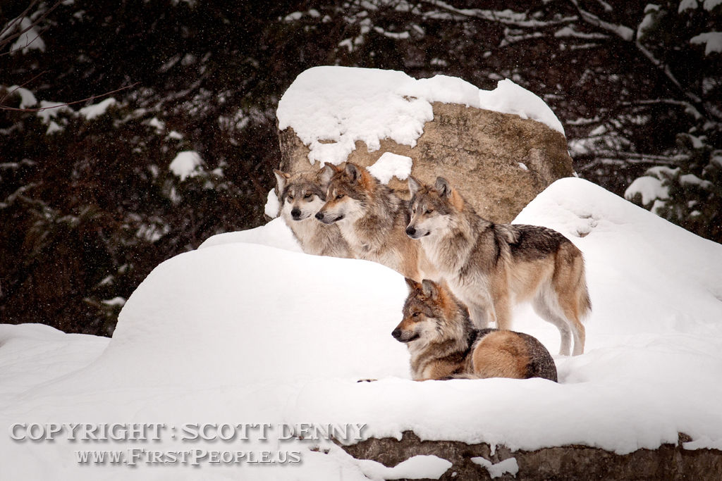 Four Mexican Gray Wolves (Canis lupus baileyi) resting in the snow.