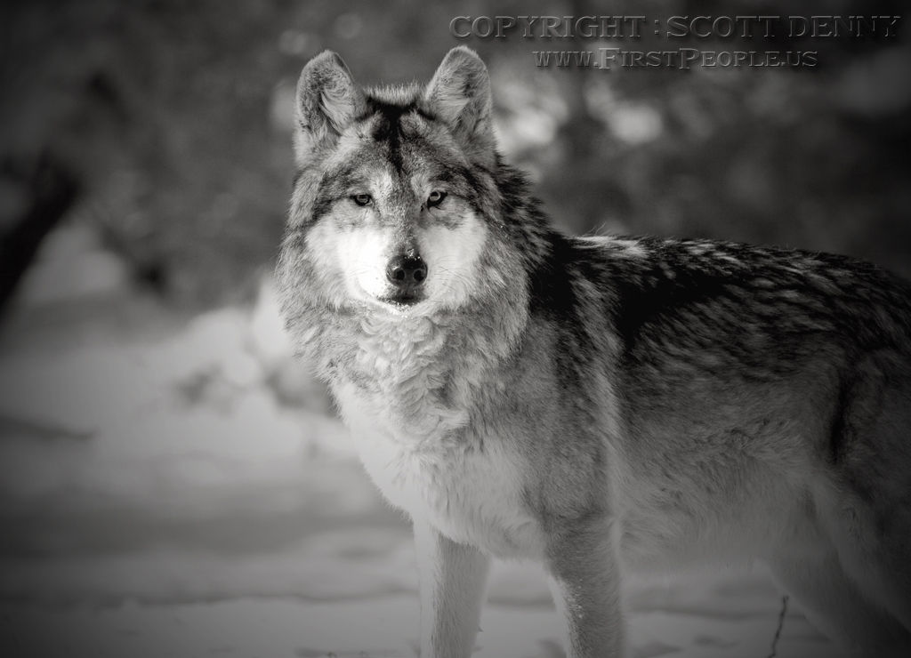 A Mexican Gray Wolf (Canis lupus baileyi) in winter.