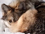 A curled up wolf.