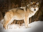 A wolf in snow, side on.