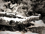 A mexican gray wolf having a rest.