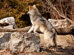 An inquisitive mexican gray wolf.