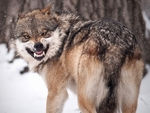 A snarling mexican gray wolf.
