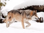 A mexican gray wolf taking a stroll in the snow.
