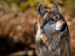 A mexican gray wolf looking up.