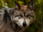 A serious-looking mexican gray wolf.