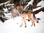 Two mexican gray wolves.
