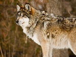 A gray wolf looking far away.