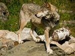 A wolf looking back.