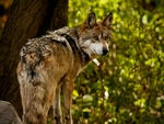 A lone mexican gray wolf looking back.