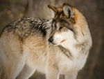 A mexican gray wolf looking back.