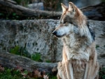 A mexican gray wolf sitting down.