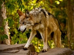 A mexican gray wolf on the prowl (color).
