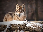 A mexican gray wolf resting in the snow.