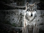 A poised mexican gray wolf.