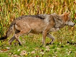 A mexican gray wolf in pursuit.