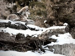 A mexican gray wolf having a rest #2.