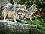 A pack of mexican gray wolves.