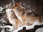 Two mexican gray wolves kissing.