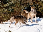 Two mexican gray wolves fighting.
