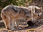 A submissive mexican gray wolf.