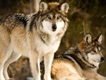 Two mexican gray wolves, one on look-out.