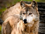 A staring mexican gray wolf.
