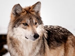 A cute-looking mexican gray wolf.