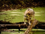 A mexican gray wolf in difficulty.
