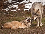 Two mexican gray wolves, one submissive.