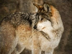 A beautiful mexican gray wolf.