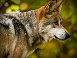 A side view of a mexican gray wolf.