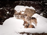 A family of mexican gray wolves.