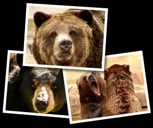 Bear Photographs.