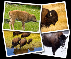 Bison Photographs.