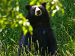 A black bear sitting rather proudly at Bear Ranch, Northern Michigan.