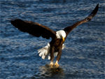 An eagle, about to catch a fish.