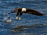 An eagle, dropping a recently caught fish.