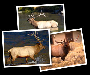 Elk Photographs.