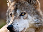 Mexican gray wolf head.