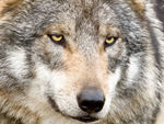 A very close shot of a Mexican gray wolf.