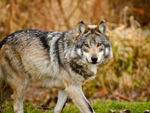A Mexican gray wolf going on a stroll.