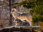 Two Mexican gray wolves on look out.