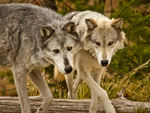 Two gray wolves.