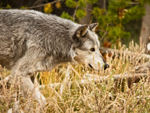 A gray wolf stalking.