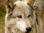 A side profile of a gray wolf head.