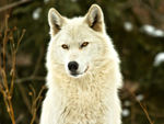 A frontal shot of a white wolf.